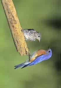 Eastern Bluebird male with fledgling