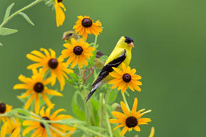 Goldfinches on Black-eyed Susans